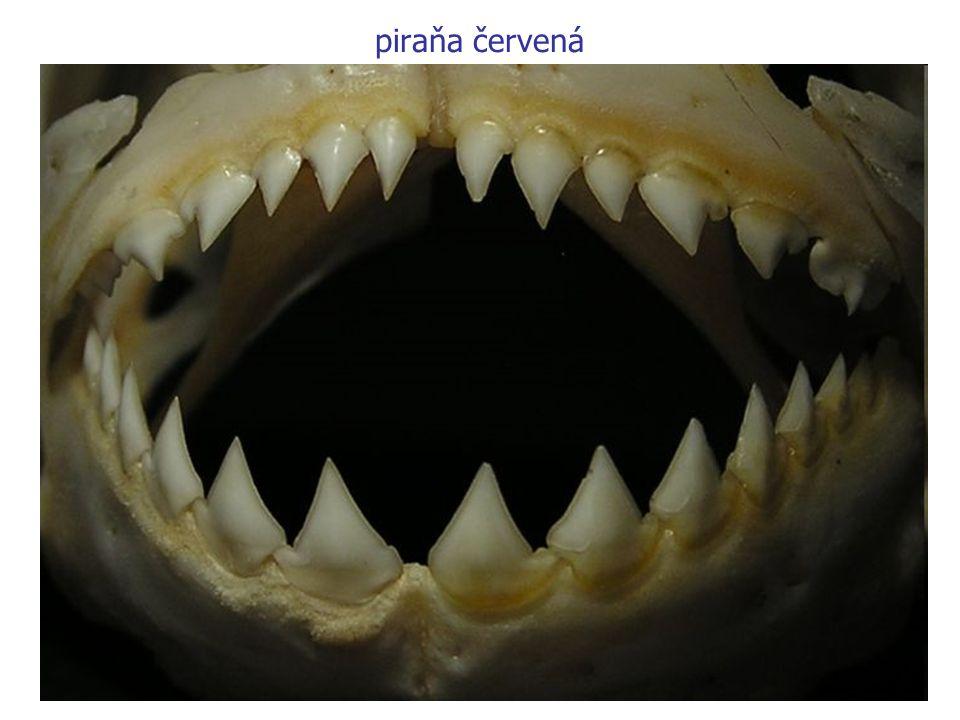 piraňa červená