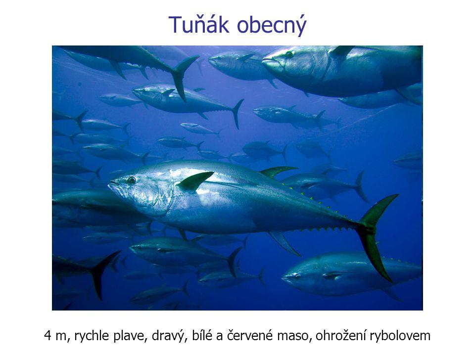 4 m, rychle plave, dravý, bílé a červené maso, ohrožení rybolovem