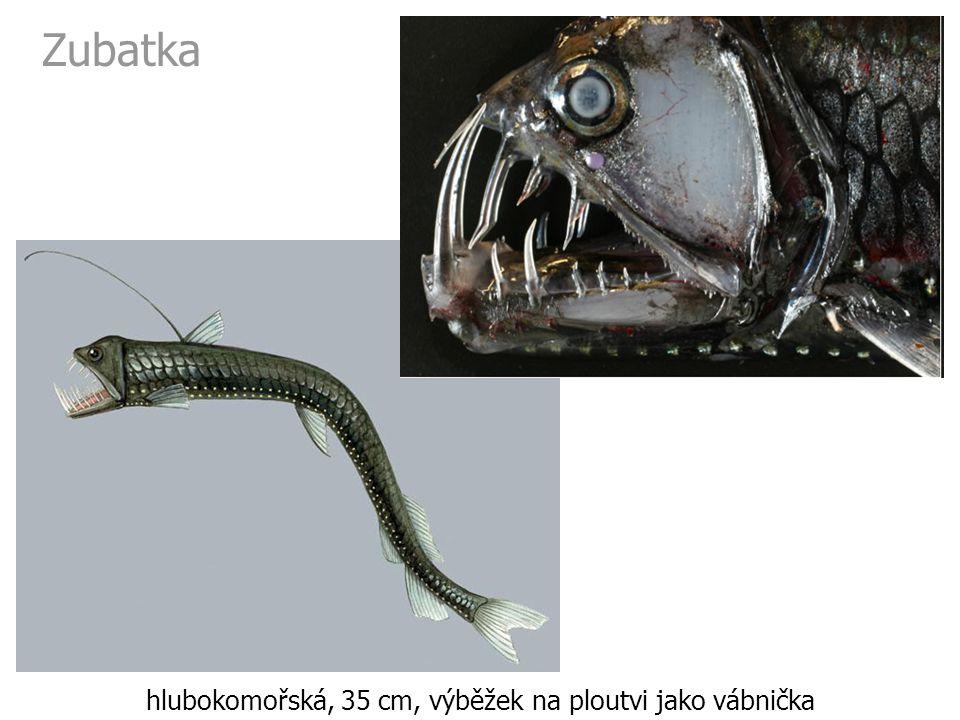 hlubokomořská, 35 cm, výběžek na ploutvi jako vábnička
