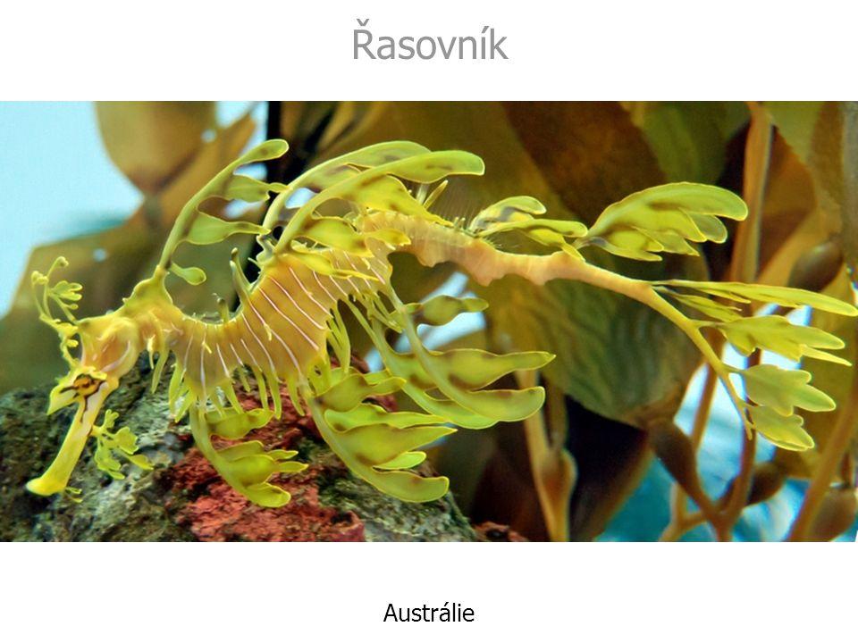 Řasovník Austrálie