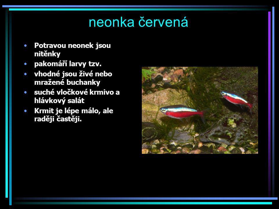 neonka červená Potravou neonek jsou nitěnky pakomáří larvy tzv.