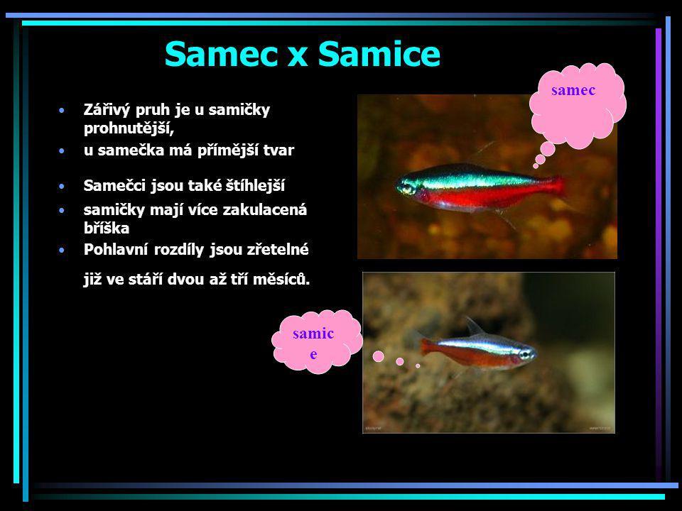 Samec x Samice samec samice Zářivý pruh je u samičky prohnutější,