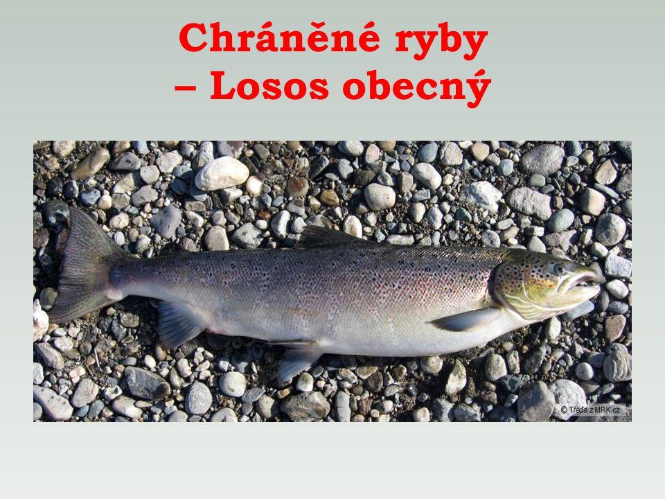 Chráněné ryby – Losos obecný