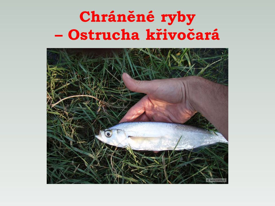 Chráněné ryby – Ostrucha křivočará