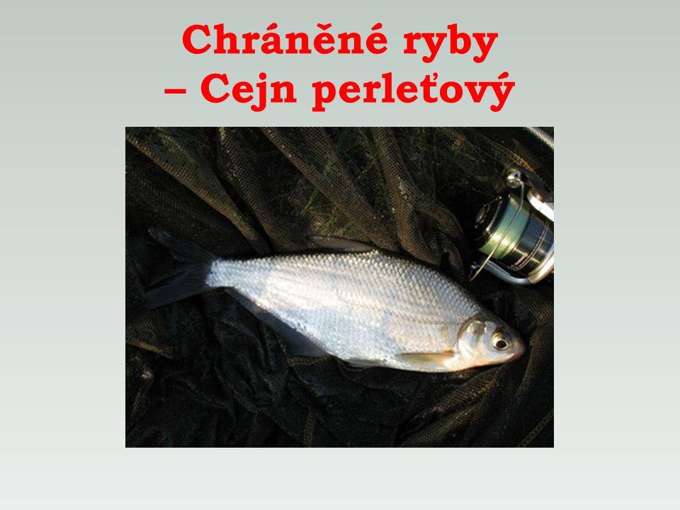 Chráněné ryby – Cejn perleťový
