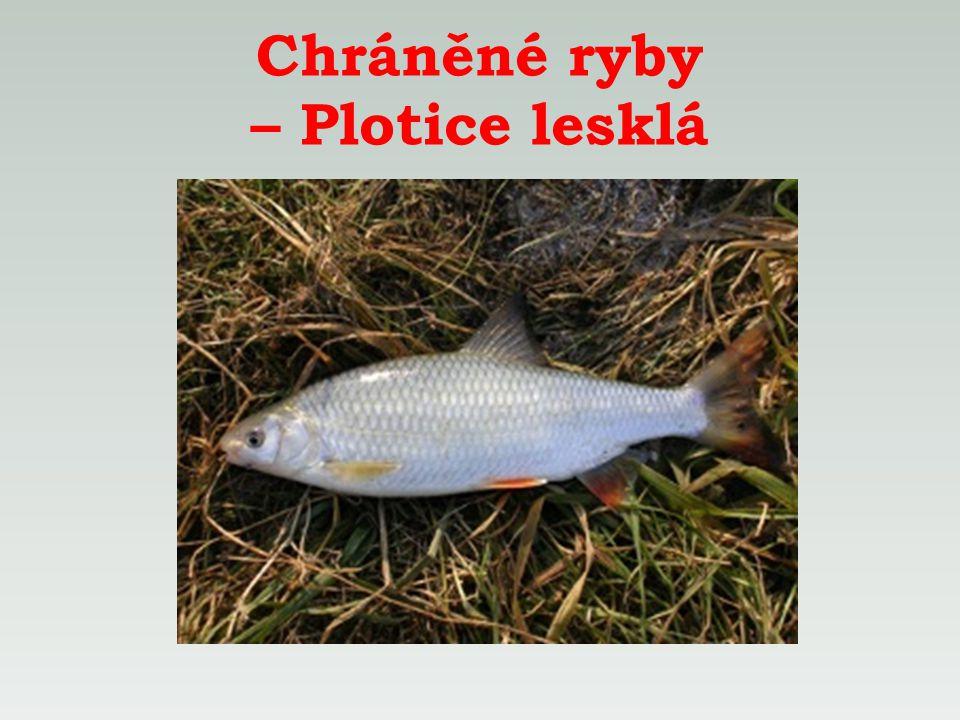 Chráněné ryby – Plotice lesklá