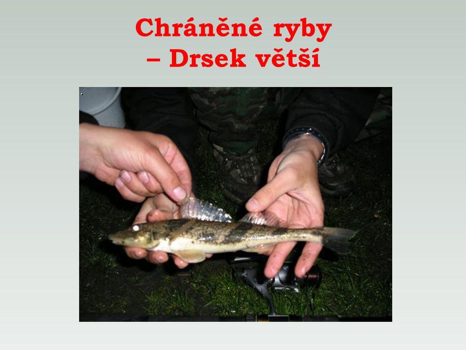 Chráněné ryby – Drsek větší