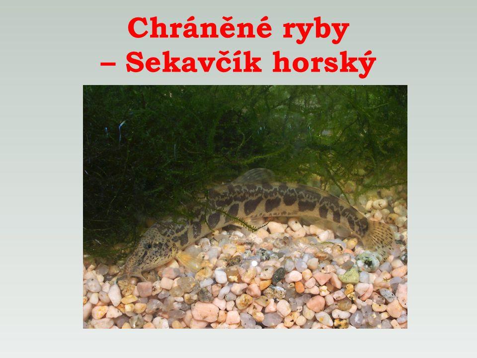 Chráněné ryby – Sekavčík horský