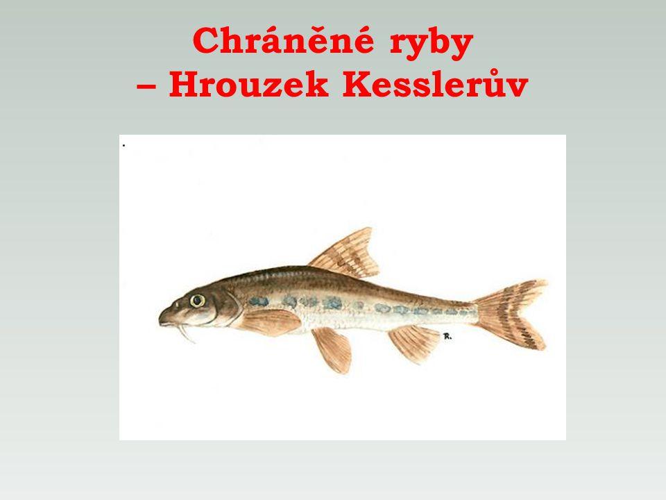Chráněné ryby – Hrouzek Kesslerův