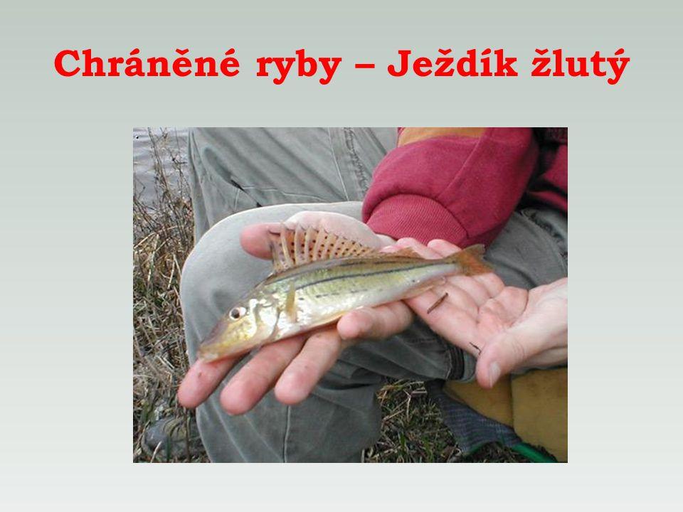 Chráněné ryby – Ježdík žlutý