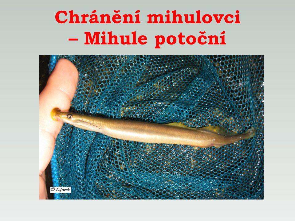 Chránění mihulovci – Mihule potoční