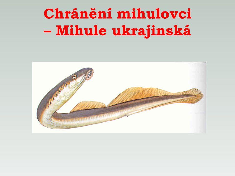 Chránění mihulovci – Mihule ukrajinská