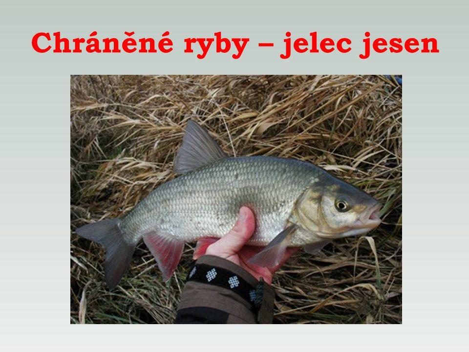 Chráněné ryby – jelec jesen