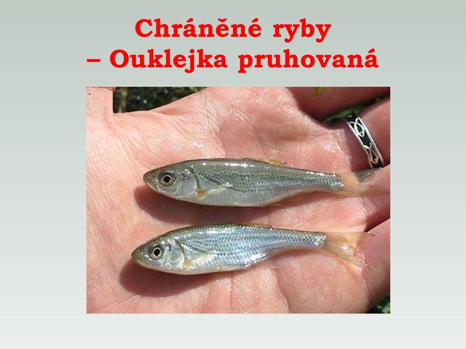 Chráněné ryby – Ouklejka pruhovaná