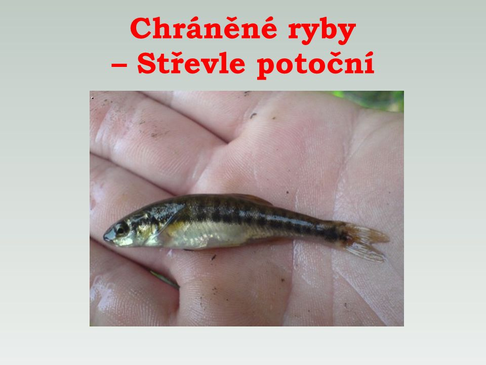 Chráněné ryby – Střevle potoční