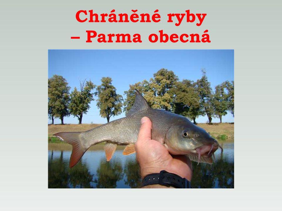 Chráněné ryby – Parma obecná
