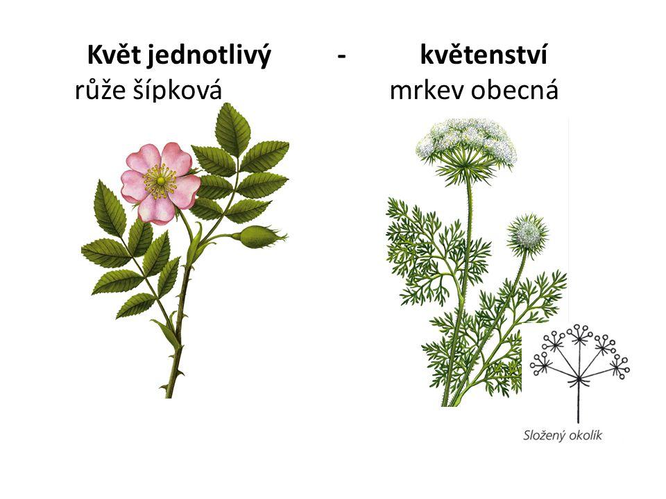 Květ jednotlivý - květenství růže šípková mrkev obecná