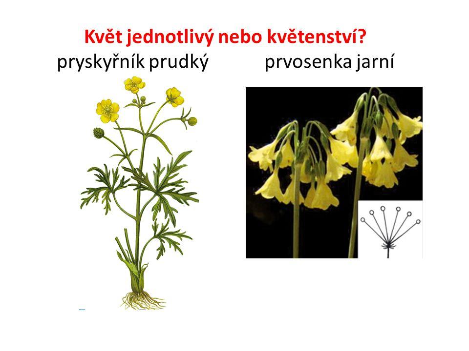 Květ jednotlivý nebo květenství pryskyřník prudký prvosenka jarní