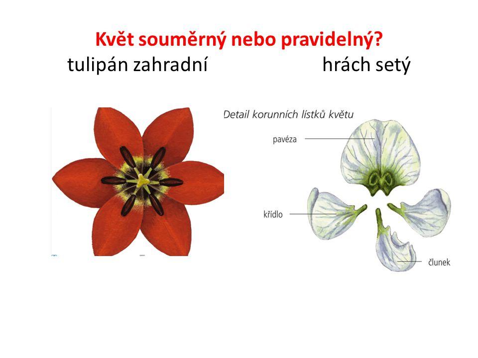 Květ souměrný nebo pravidelný tulipán zahradní hrách setý