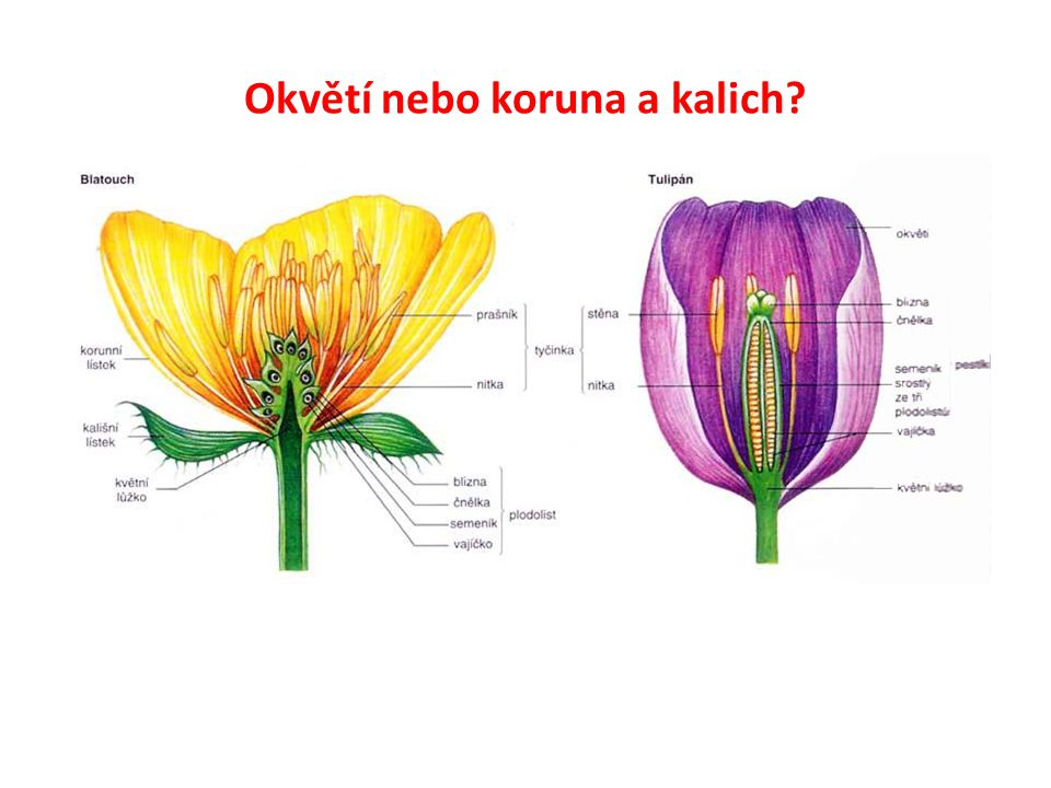Okvětí nebo koruna a kalich