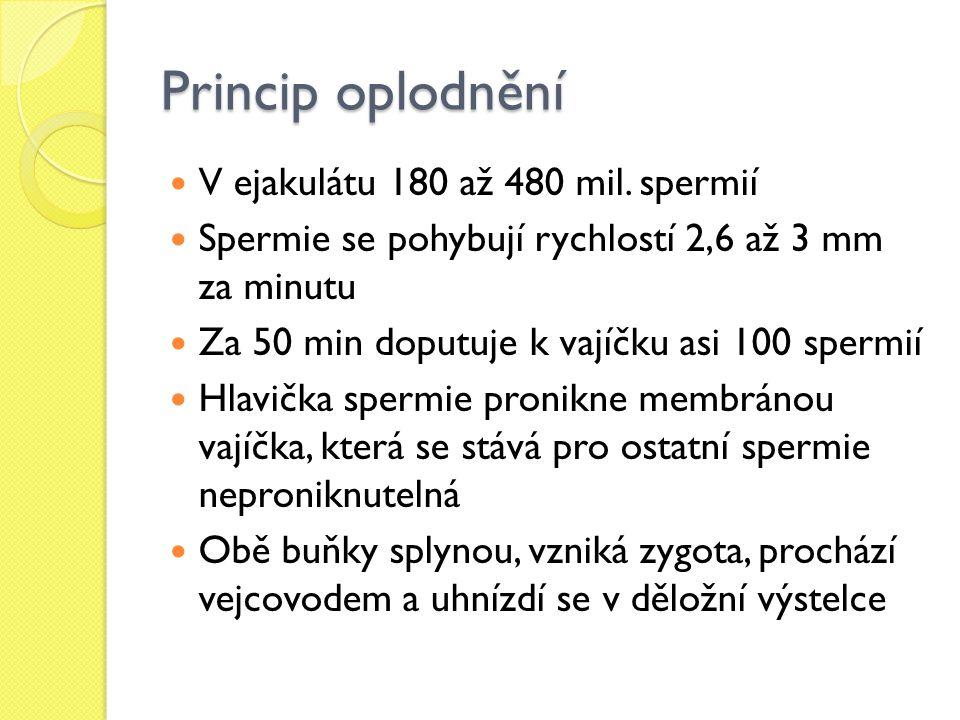 Princip oplodnění V ejakulátu 180 až 480 mil. spermií