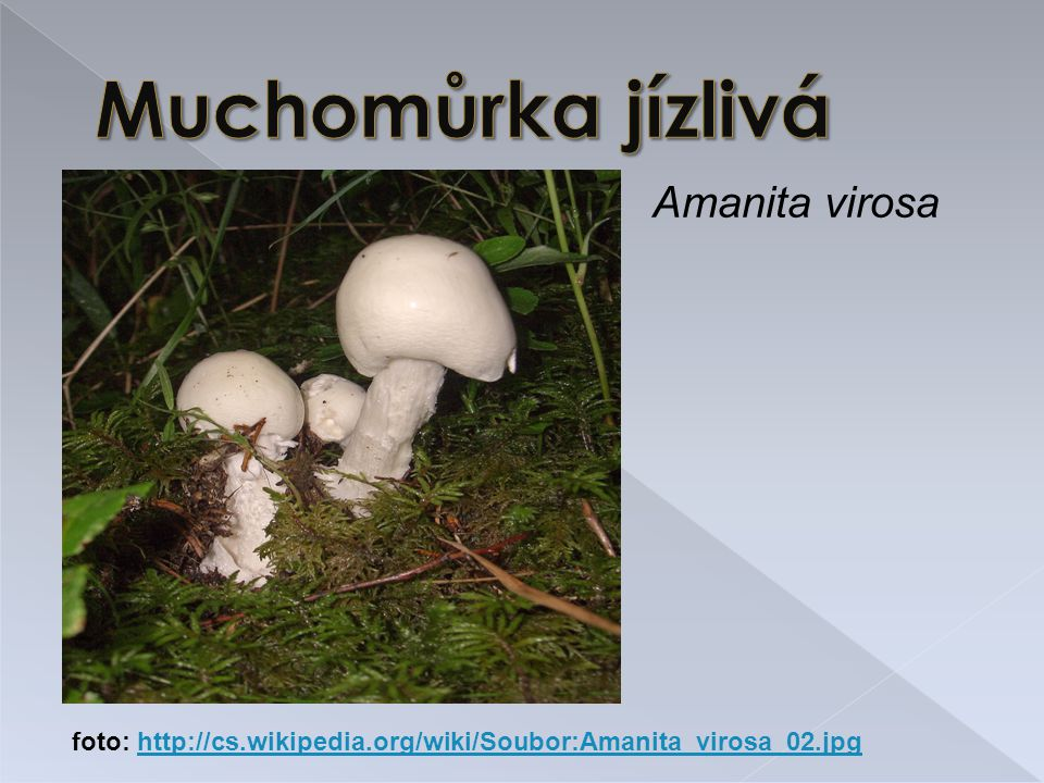 Muchomůrka jízlivá Amanita virosa