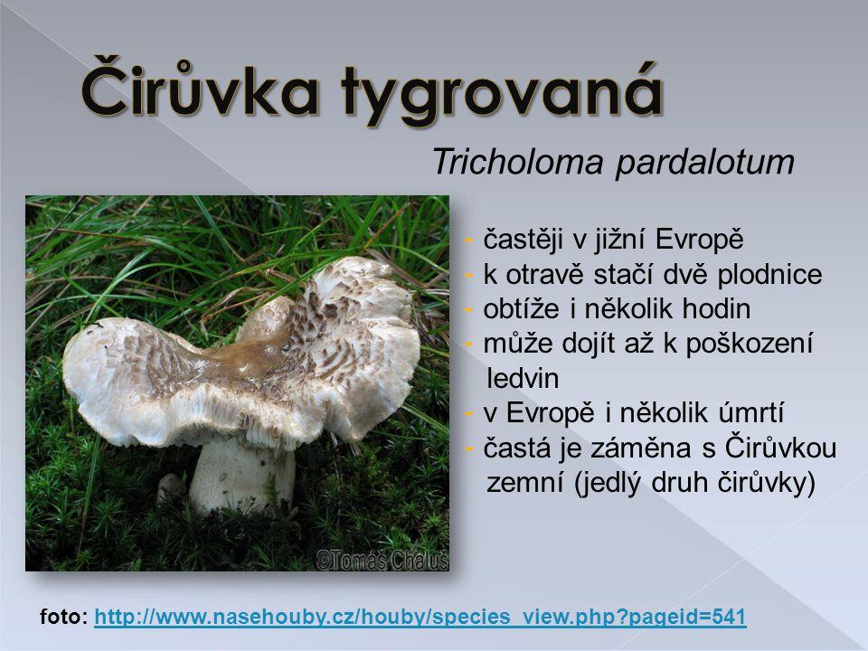 Čirůvka tygrovaná Tricholoma pardalotum častěji v jižní Evropě