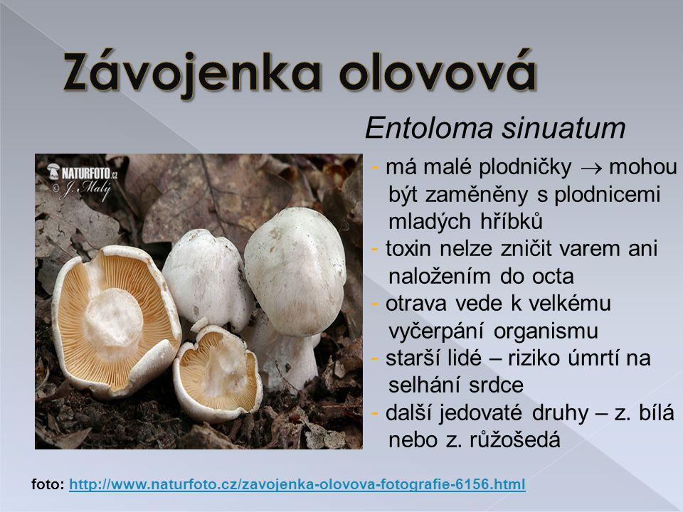 Závojenka olovová Entoloma sinuatum má malé plodničky  mohou
