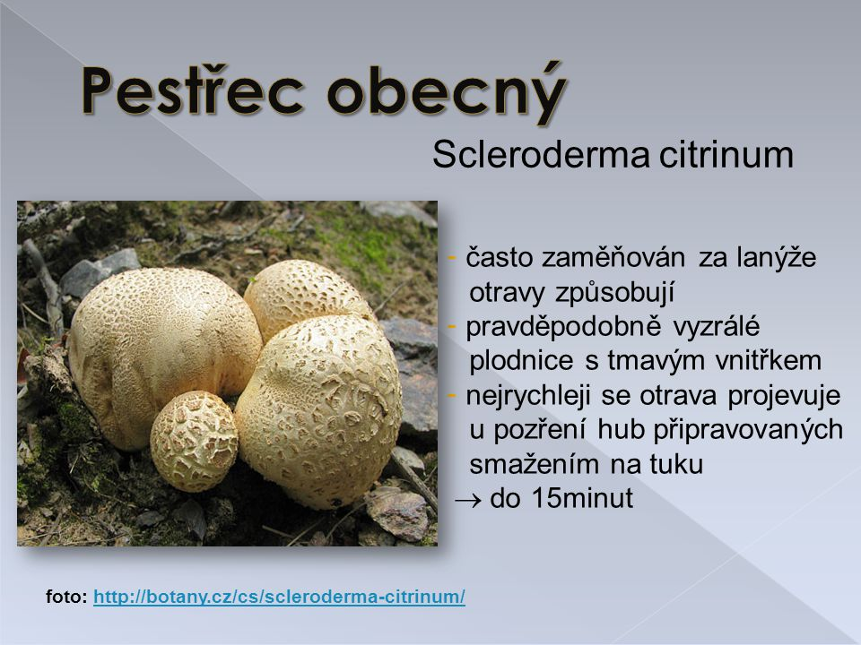 Pestřec obecný Scleroderma citrinum často zaměňován za lanýže