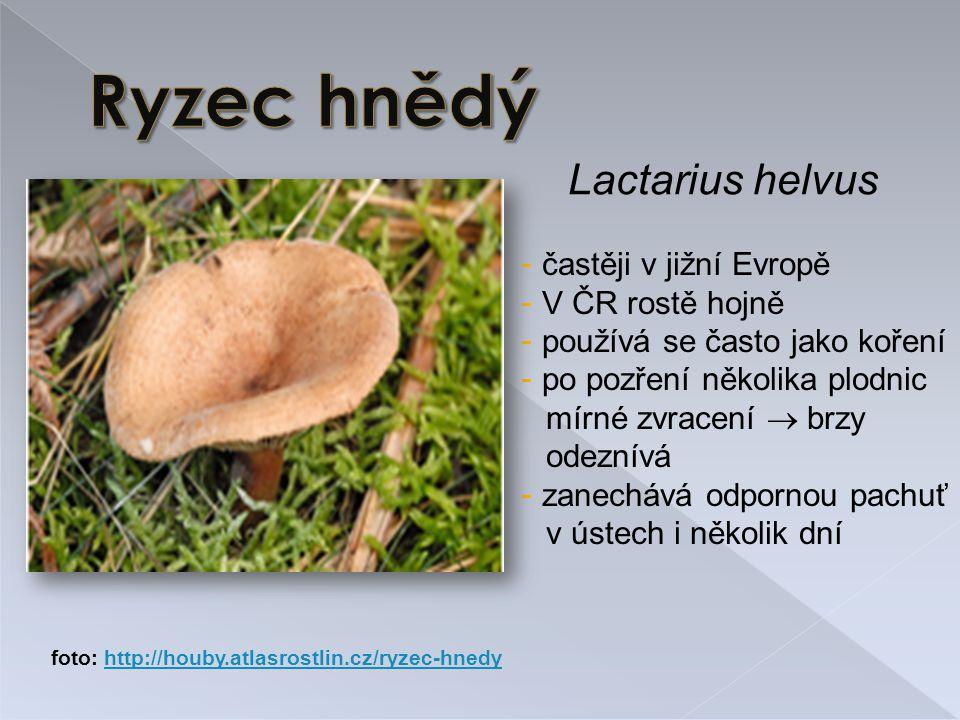 Ryzec hnědý Lactarius helvus častěji v jižní Evropě V ČR rostě hojně