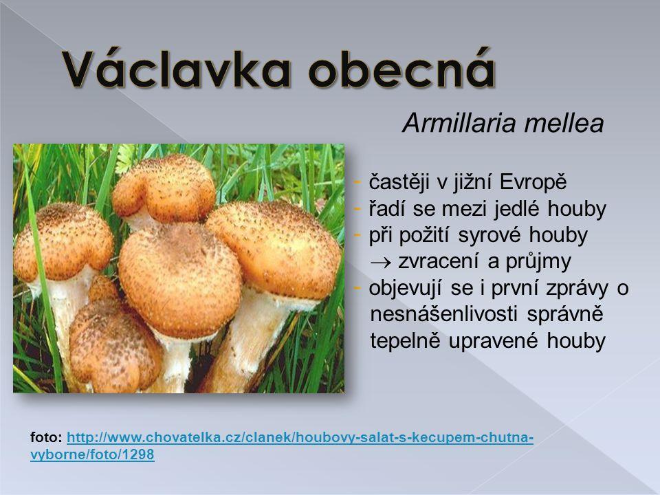 Václavka obecná Armillaria mellea častěji v jižní Evropě
