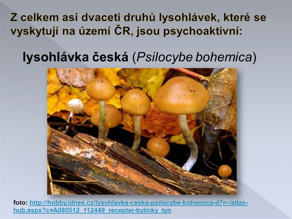 lysohlávka česká (Psilocybe bohemica)