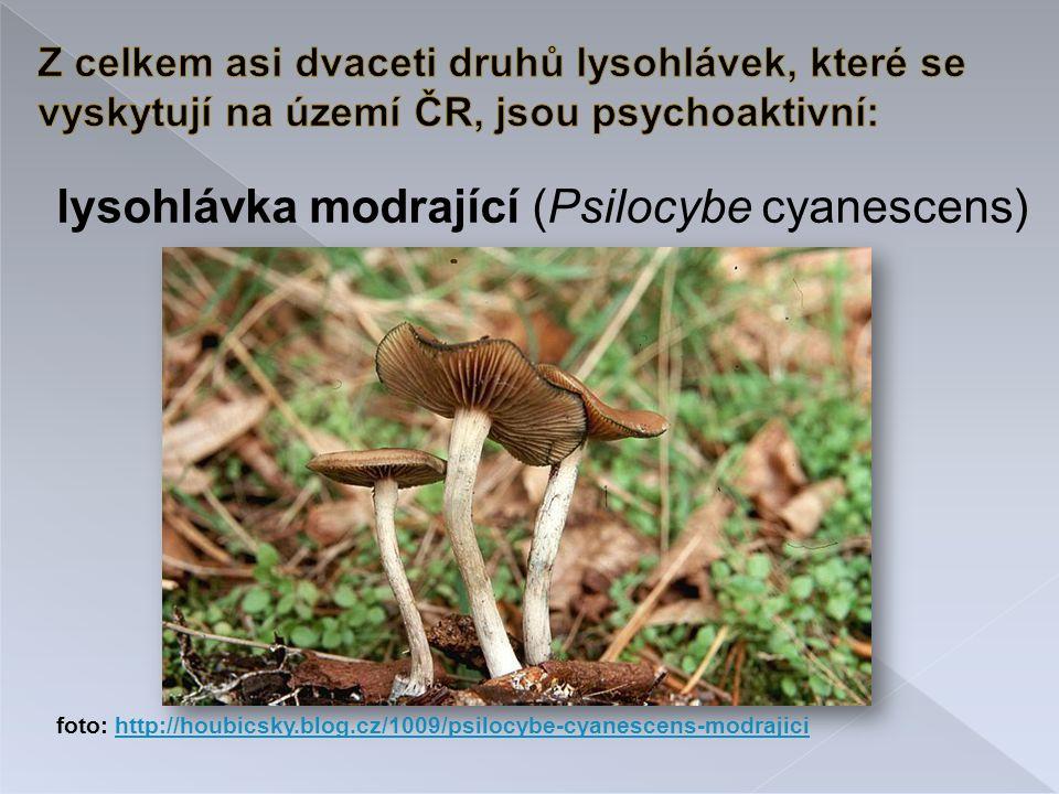 lysohlávka modrající (Psilocybe cyanescens)