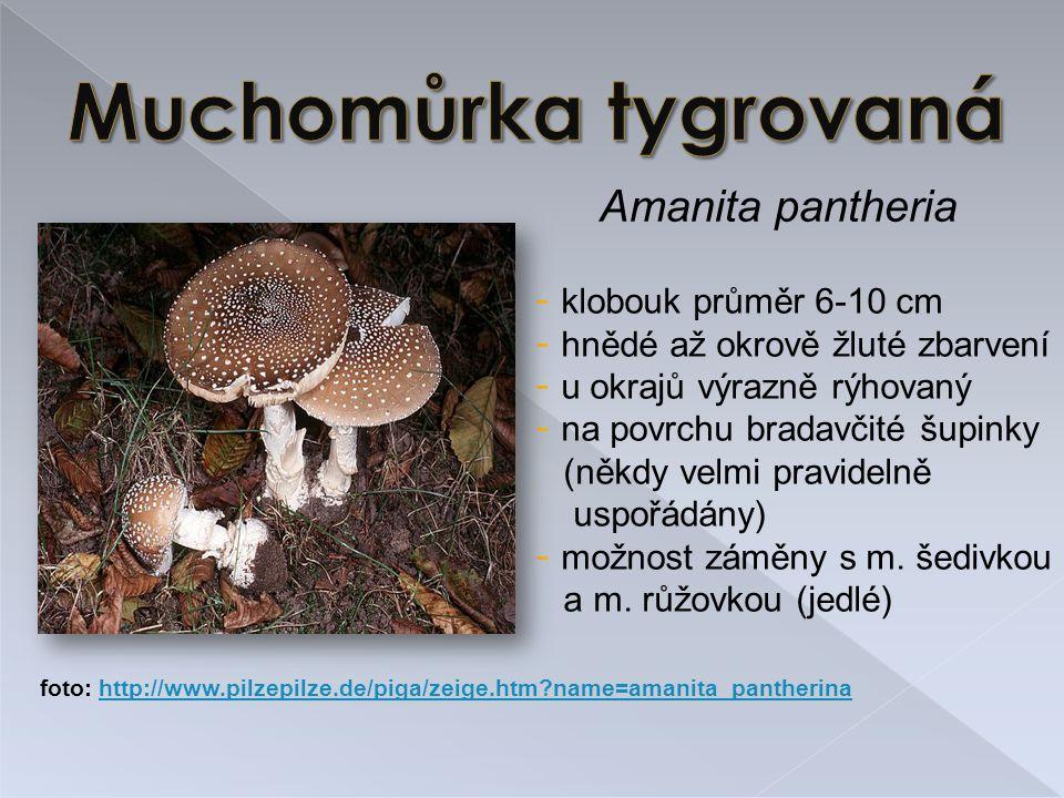 Muchomůrka tygrovaná Amanita pantheria klobouk průměr 6-10 cm