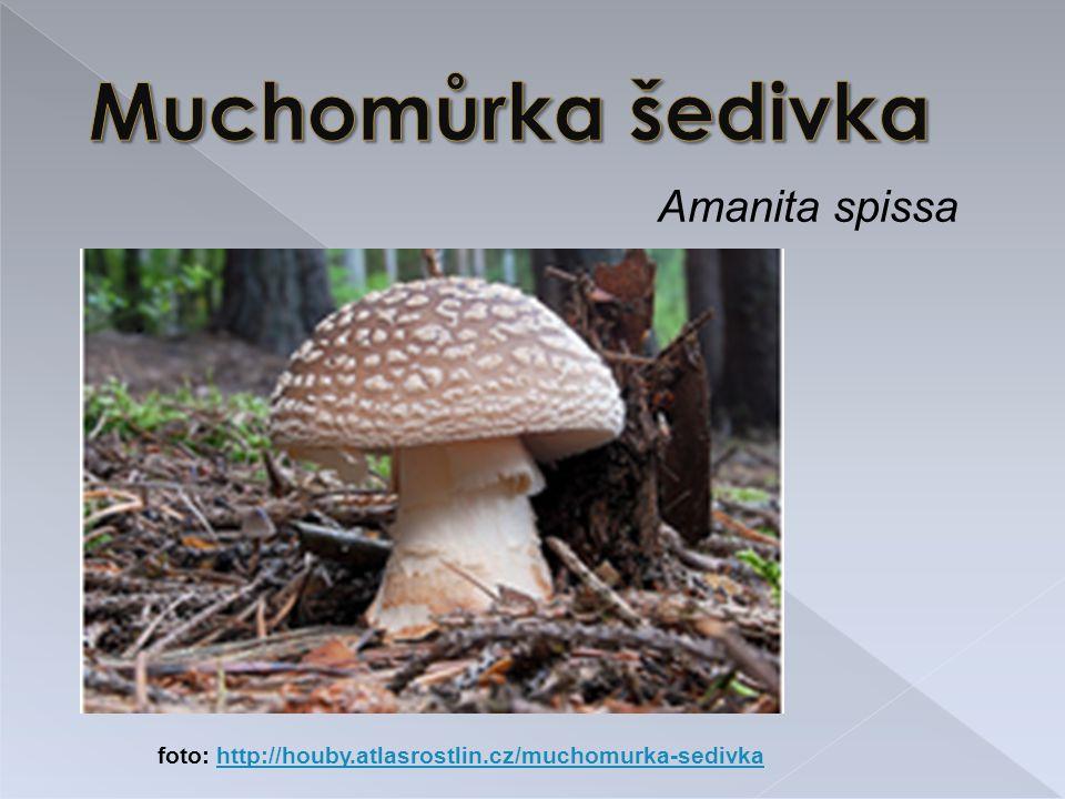 Muchomůrka šedivka Amanita spissa