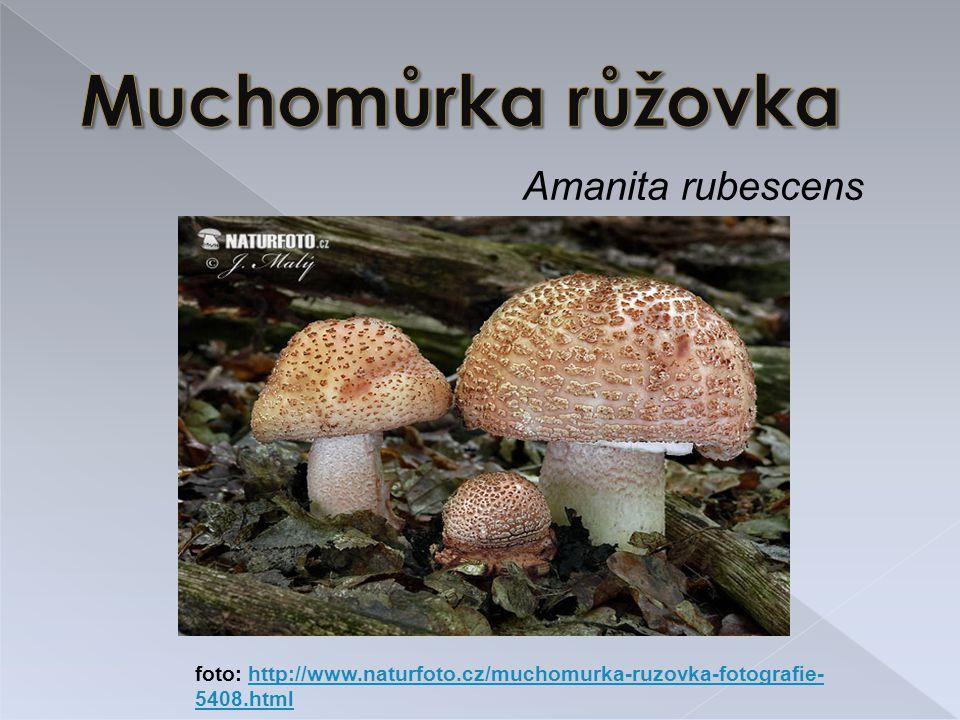 Muchomůrka růžovka Amanita rubescens
