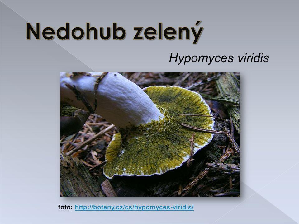 Nedohub zelený Hypomyces viridis