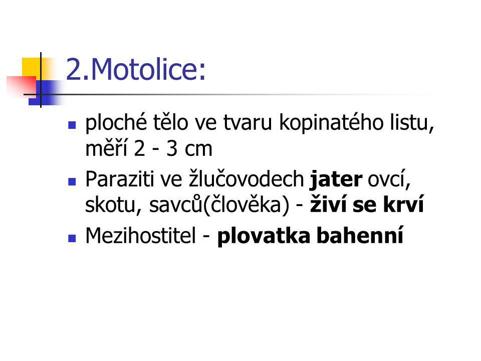 2.Motolice: ploché tělo ve tvaru kopinatého listu, měří 2 - 3 cm
