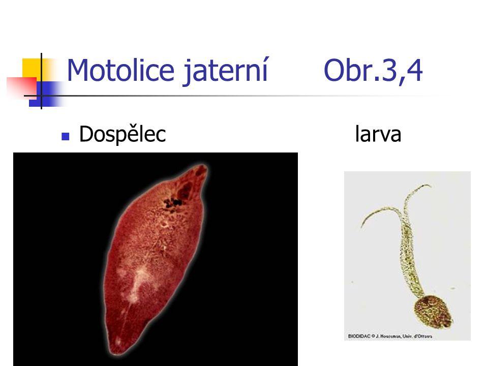 Motolice jaterní Obr.3,4 Dospělec larva