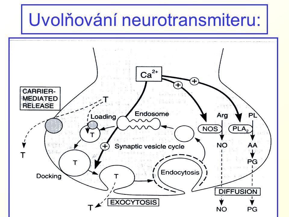 Uvolňování neurotransmiteru: