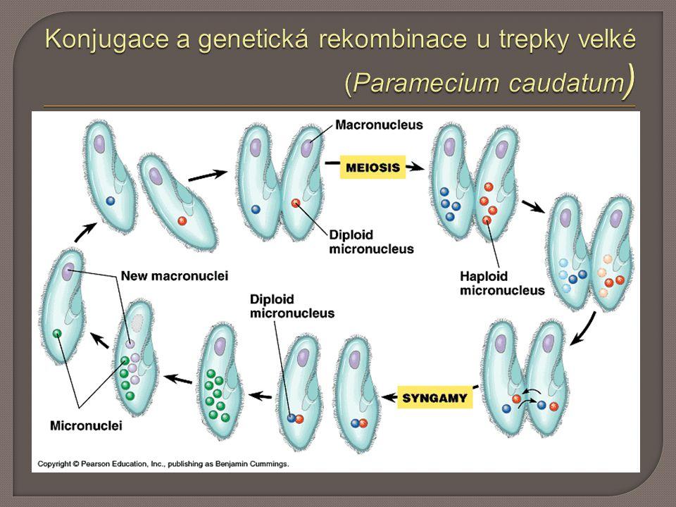 Konjugace a genetická rekombinace u trepky velké (Paramecium caudatum)