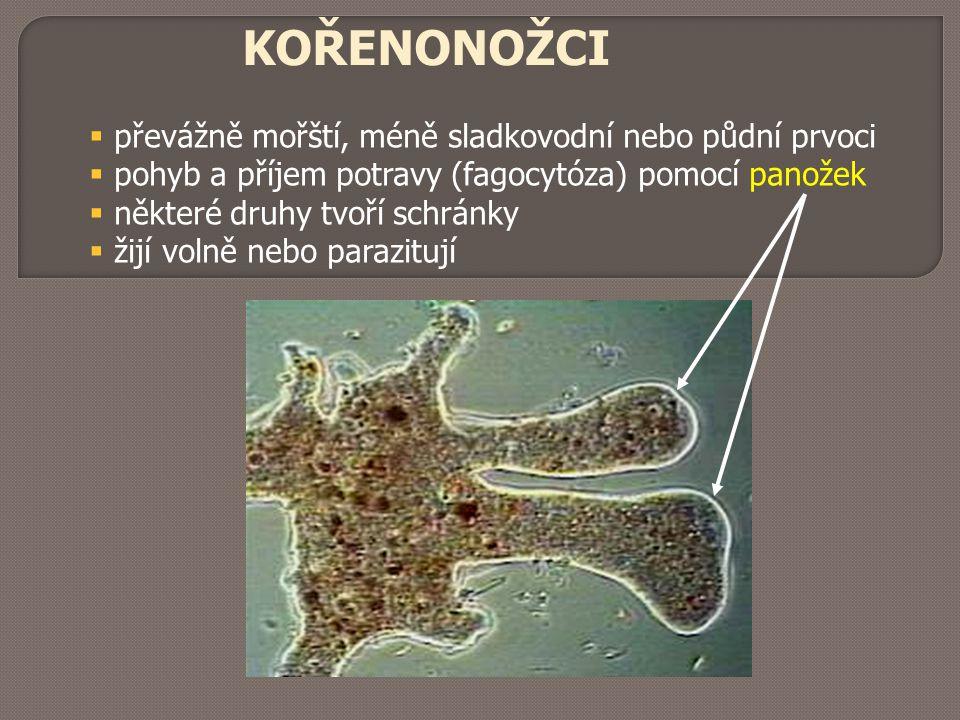KOŘENONOŽCI převážně mořští, méně sladkovodní nebo půdní prvoci