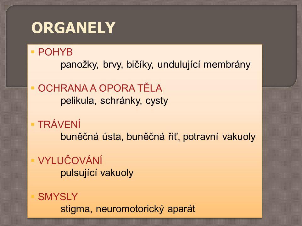 ORGANELY POHYB panožky, brvy, bičíky, undulující membrány
