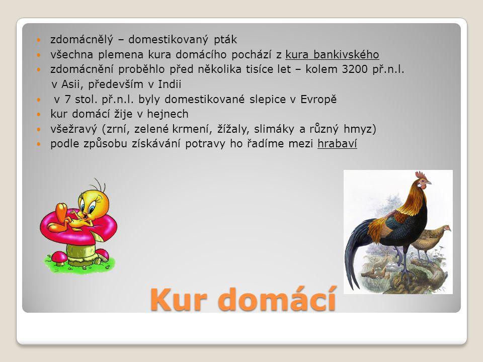 Kur domácí zdomácnělý – domestikovaný pták