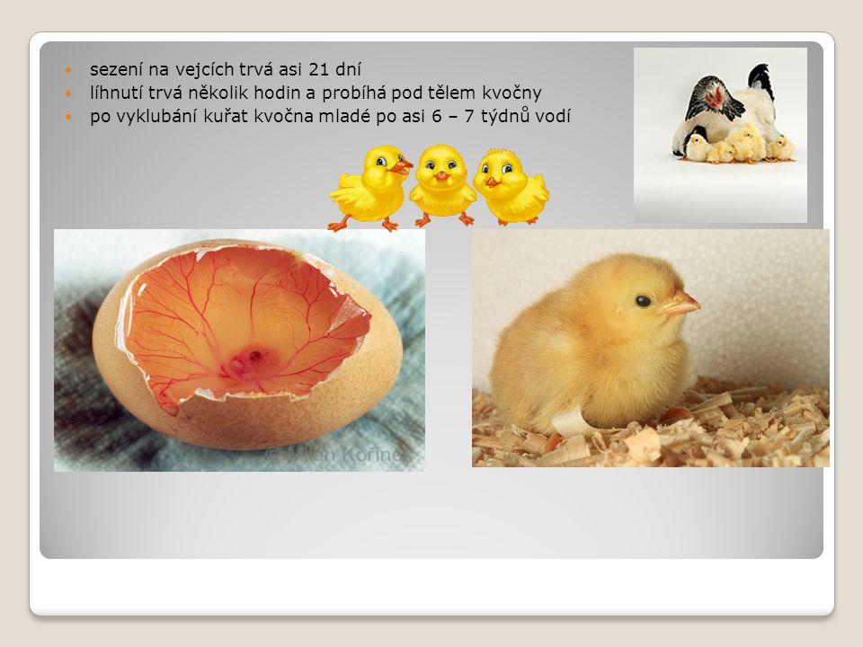 sezení na vejcích trvá asi 21 dní