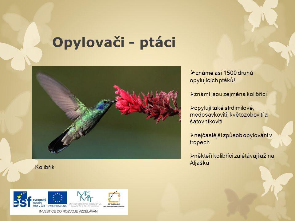 Opylovači - ptáci známe asi 1500 druhů opylujících ptáků!