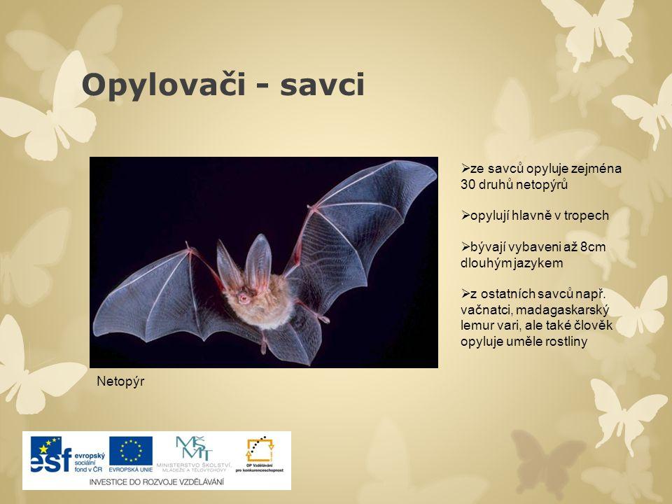 Opylovači - savci ze savců opyluje zejména 30 druhů netopýrů