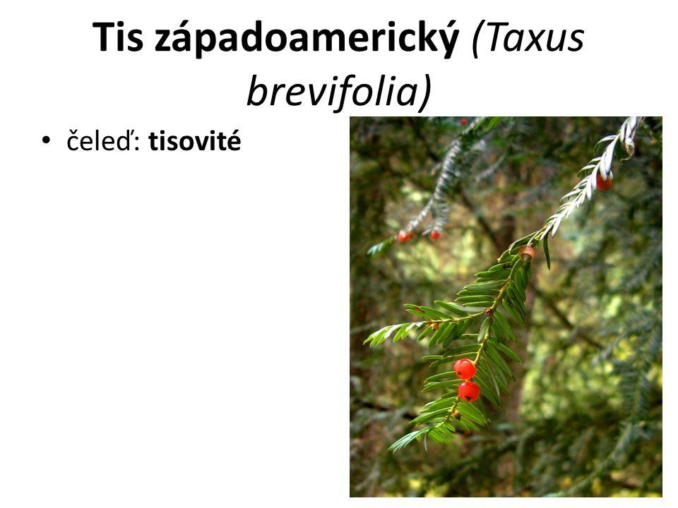 Tis západoamerický (Taxus brevifolia)