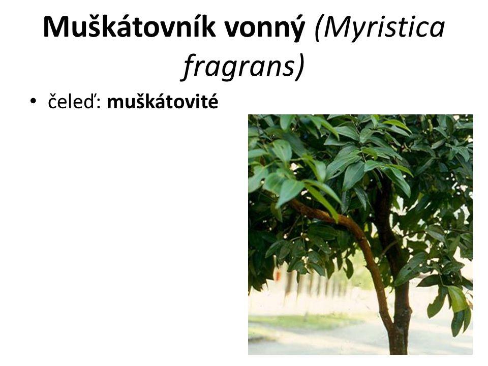 Muškátovník vonný (Myristica fragrans)
