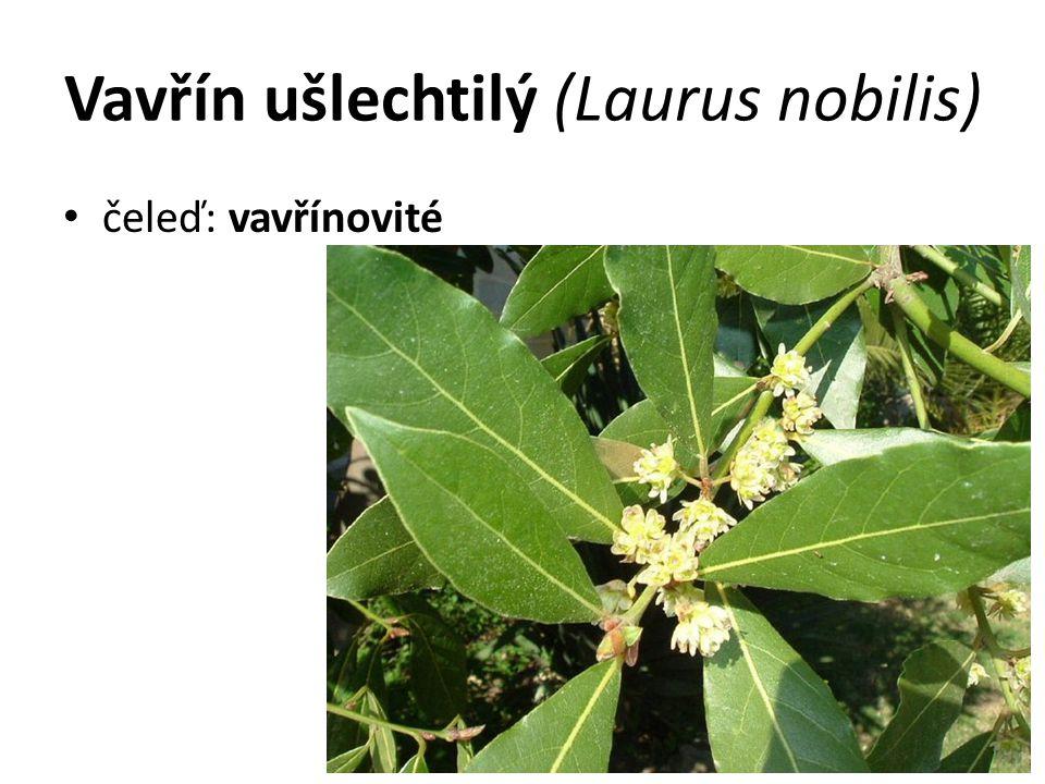 Vavřín ušlechtilý (Laurus nobilis)